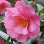 Camellia x williamsii 'Duchess of Cornwall'