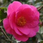 Camellia x williamsii 'Duchess of York'