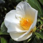 Camellia japonica 'Duckyls Belle'
