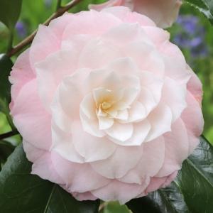 Camellia japonica 'Donnans Dream'