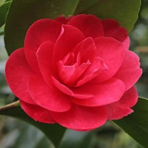 Camellia japonica 'Pearl Harbour'