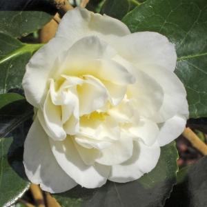 Camellia japonica 'Sally Harrel'