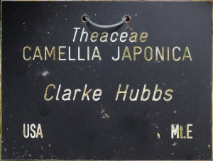 Camellia japonica 'Clarke Hubbs'