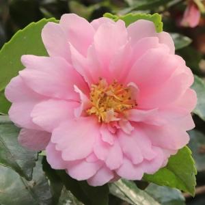 Camellia hiemalis 'Showa- Supreme'