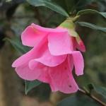 Camellia saluenensis 'Bartley Pink'