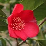 Camellia japonica 'Kentucky'