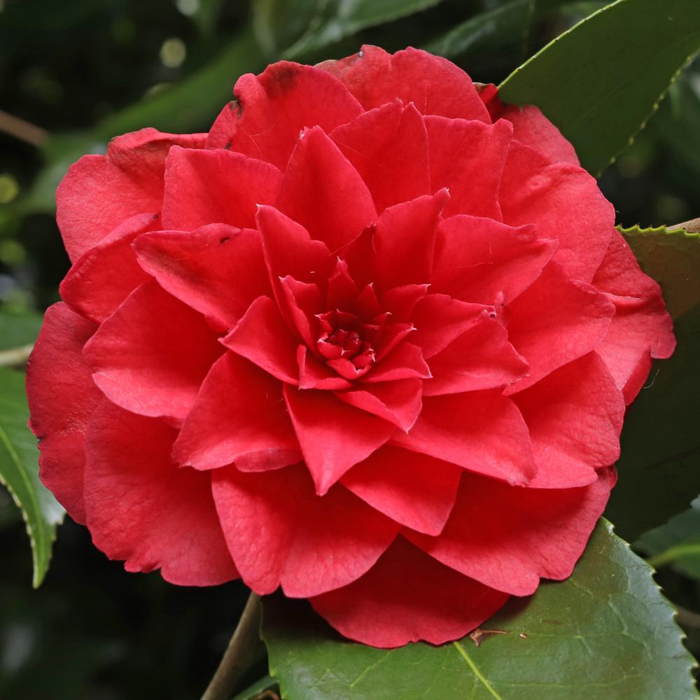 Camellia cv. unknown