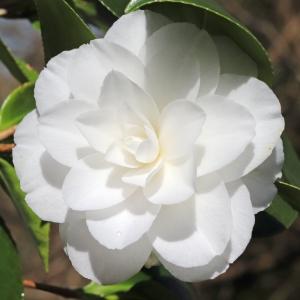 Camellia japonica 'Winter Cheer'