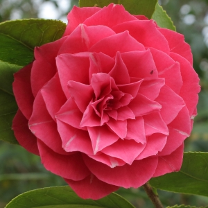 Camellia japonica 'Daintree Sievers'