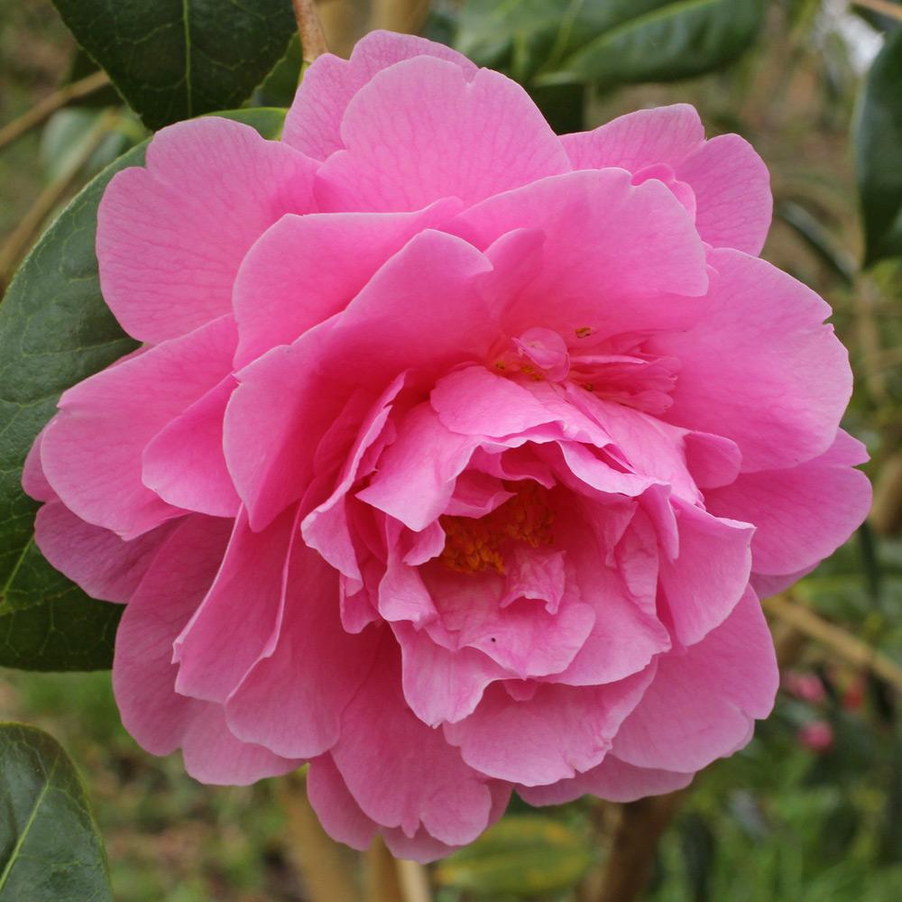 Camellia x williamsii 'Joan Trehane'