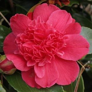 Camellia japonica 'Olive Honnor'