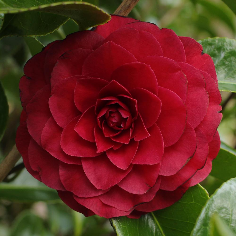 Camellia Japonica Roger Hall camellia japonica 'roger hall' (4e-016) – jim's camellias