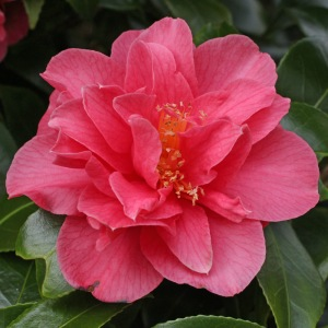 Camellia japonica 'Anna M. Page'