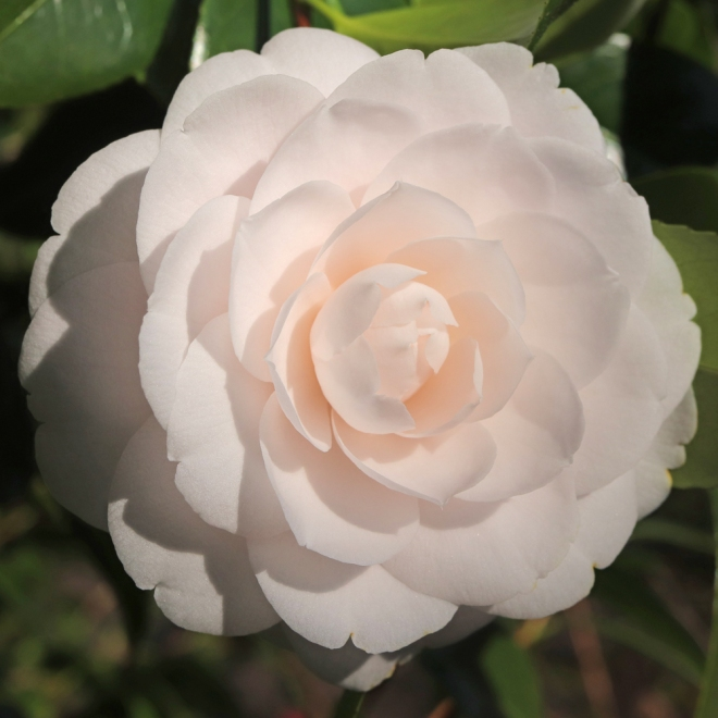 Camellia japonica 'Barbara Mary'