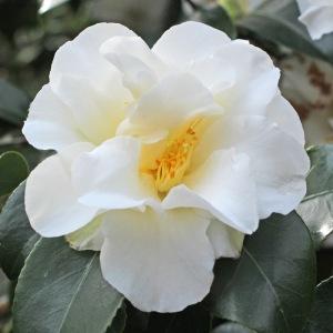 Camellia japonica 'Simplicity'