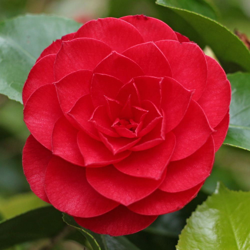 Camellia japonica 'Somersby'