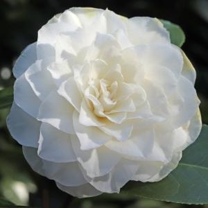 Camellia japonica 'Tricolor'