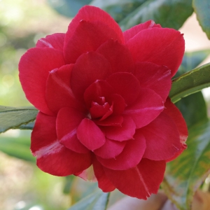 Camellia japonica 'Contessa Samailoff'