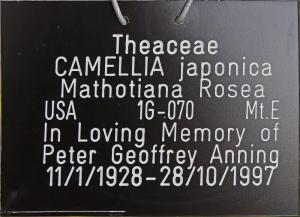 Camellia japonica 'Mathotiana Rosea'