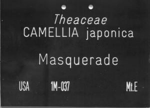 Camellia japonica 'Masquerade'