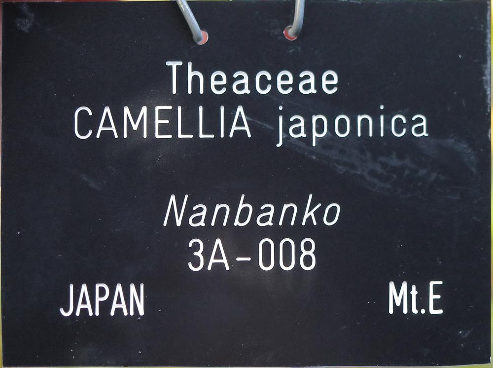 Camellia japonica 'Nanbankô'