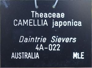 Camellia japonica 'Daintrie Sievers'