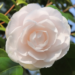Camellia japonica 'Barabara Mary'