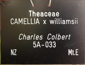 Camellia x williamsii 'Charles Colbert'