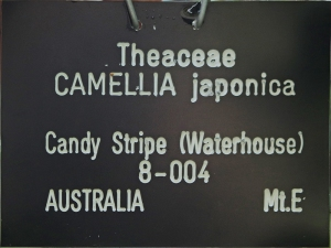 Camellia japonica 'Candy Stripe' (Waterhouse)