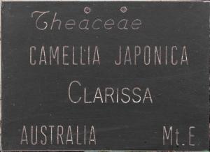 Camellia japonica 'Clarissa'