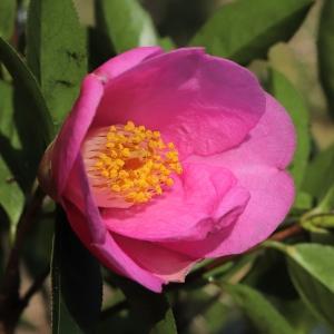 Camellia x williamsii 'Liz Henslowe'