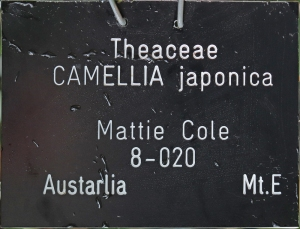 Camellia japonica 'Mattie Cole'