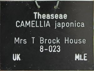 Camellia japonica 'Mrs T Brockhouse'