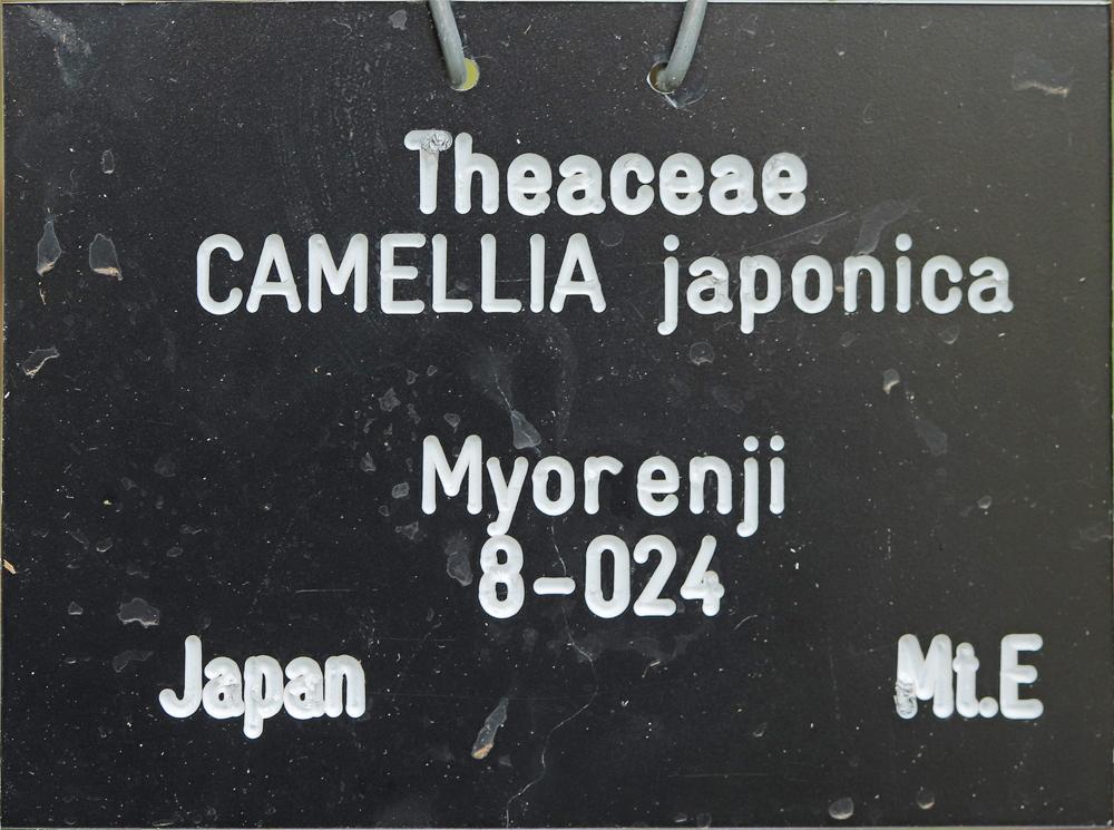 Camellia japonica 'Myôrenji'