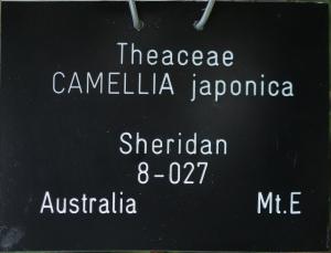 Camellia japonica 'Sheridan'