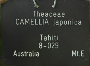 Camellia japonica 'Tahiti'