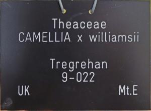 Camellia x williamsii 'Tregrehan'