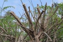 Pruning-2