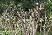 Pruning-3