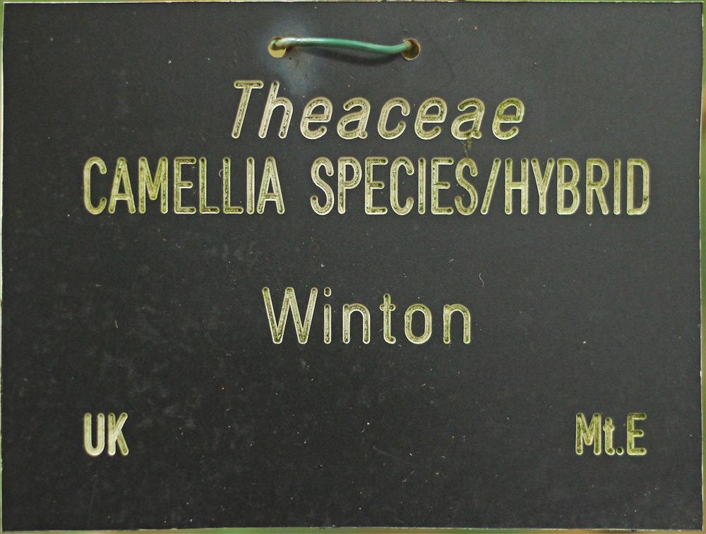 Camellia hybrid 'Winton'
