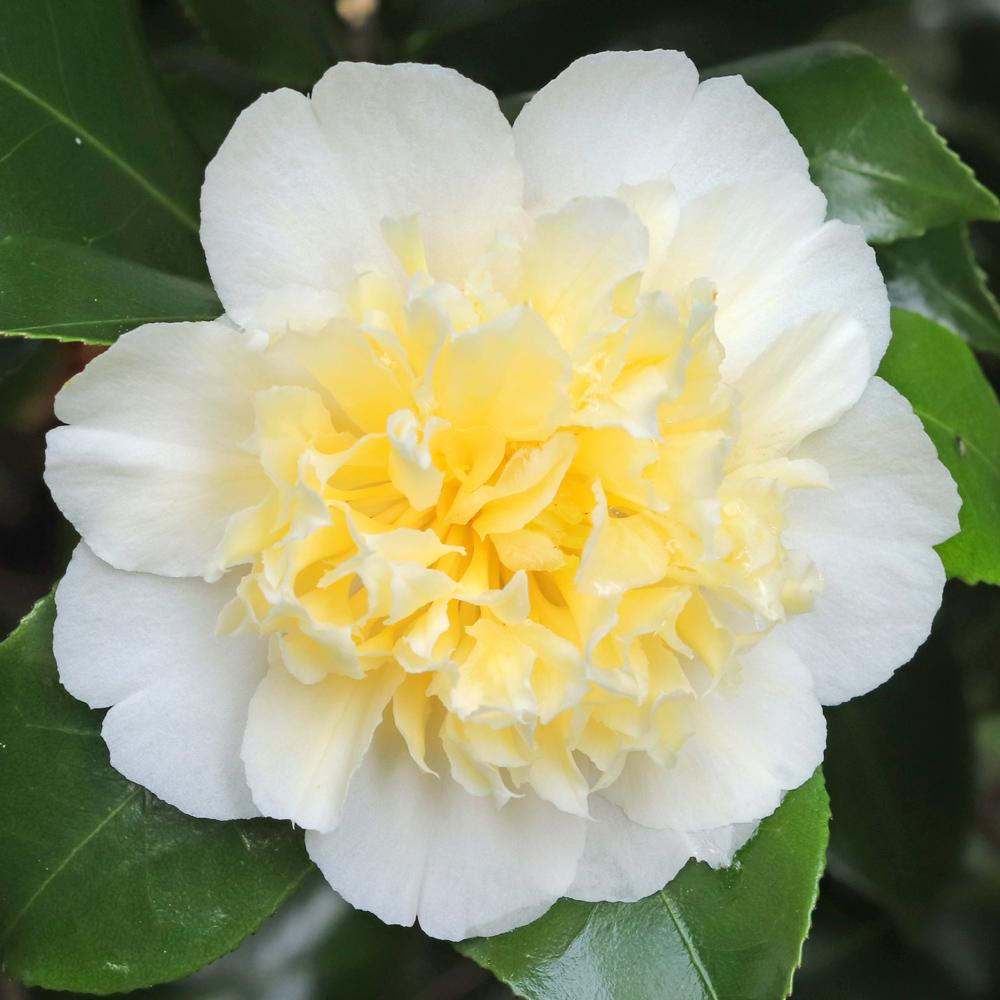 Camellia japonica 'Cornish Cream'