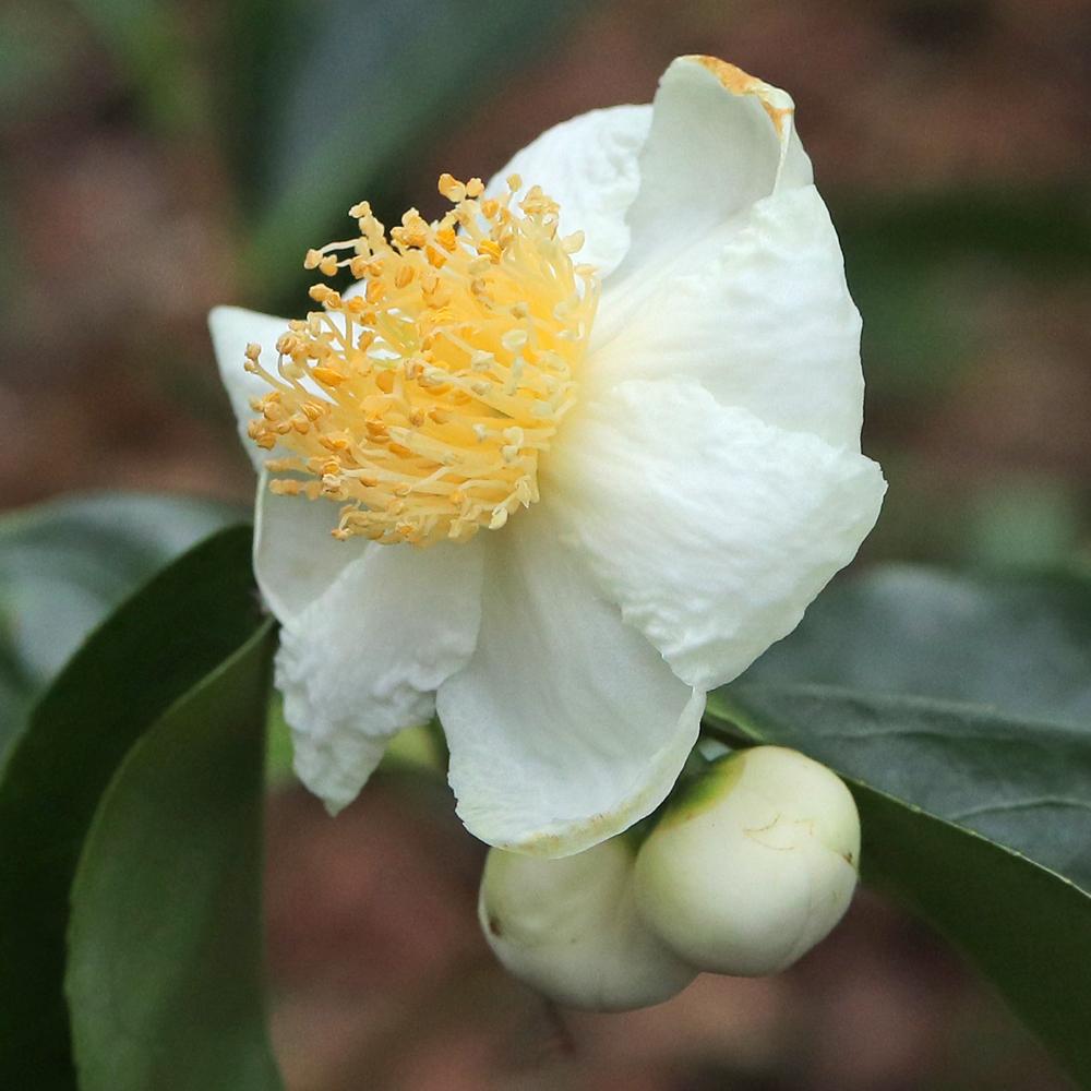 Camellia taliensis