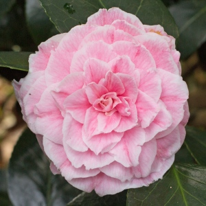 Camellia japonica 'Candidissima Pink'