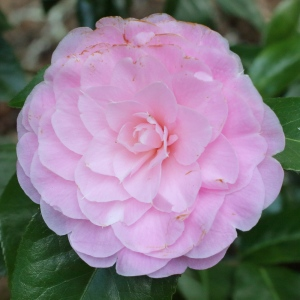 Camellia x williamsii 'Elizabeth Anderson'