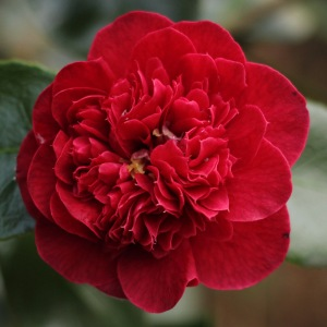 Camellia japonica 'Elizabeth Hawkins'