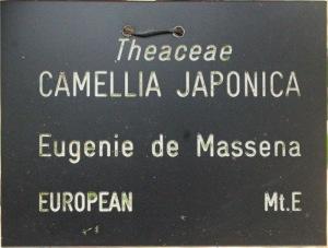 Camellia japonica 'Eugenie de Massena'