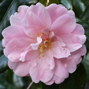 Camellia x williamsii 'Exaltation'