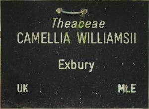 Camellia x williamsii 'Exbury'