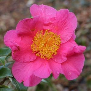Camellia x williamsii 'Janie Anderson'