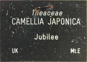 Camellia japonica 'Jubilee'